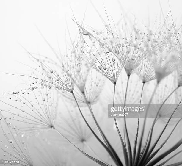 dandelion seed with water drops - zwart wit stockfoto's en -beelden