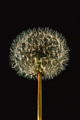 dandelion seedhead isolated black background