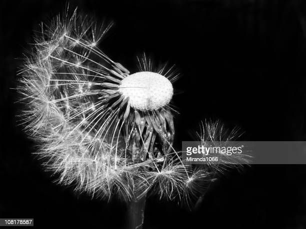 dandelion seeds, black & white - life cycle stock pictures, royalty-free photos & images