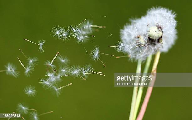 Dandelion seeds blow in the wind in Godewaersvelde northern France on May 18 as the return of pleasant weather marks the arrival of allergenic pollen...