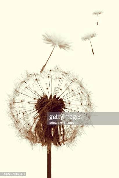 dandelion (taraxacum officinale) seeds blowing away, close-up - feuille de pissenlit photos et images de collection