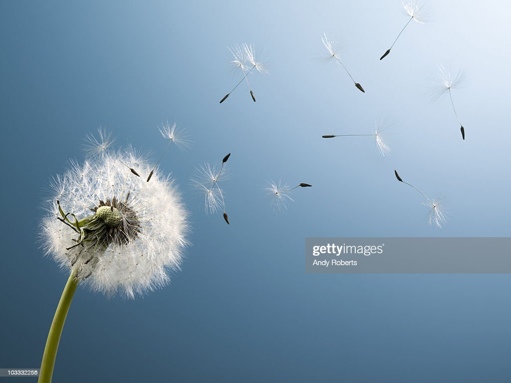 Dandelion seeds blowing from stem : Stock Photo
