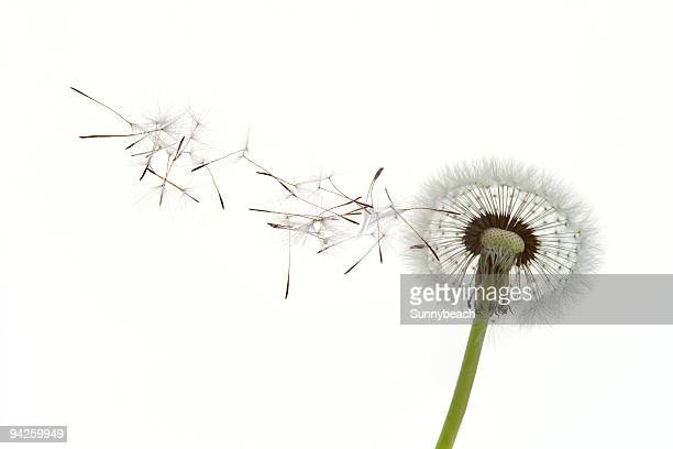 Dandelion seeds blowing in the wind against white background