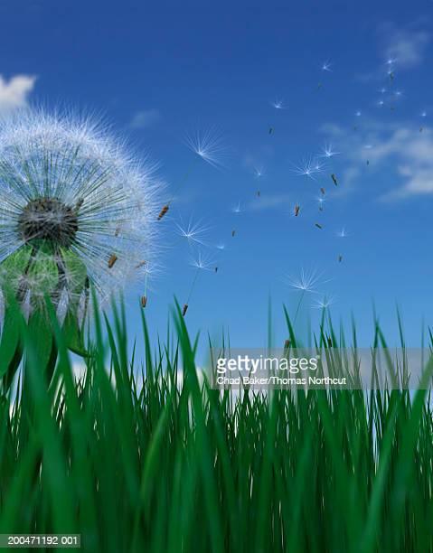 dandelion seeds blowing in wind, ground view (digital) - feuille de pissenlit photos et images de collection