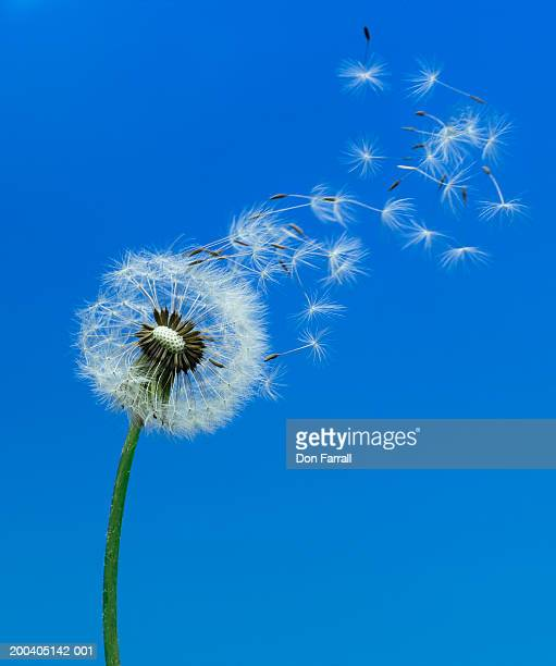 Dandelion seeds (Taraxacum officinale) blowing in wind