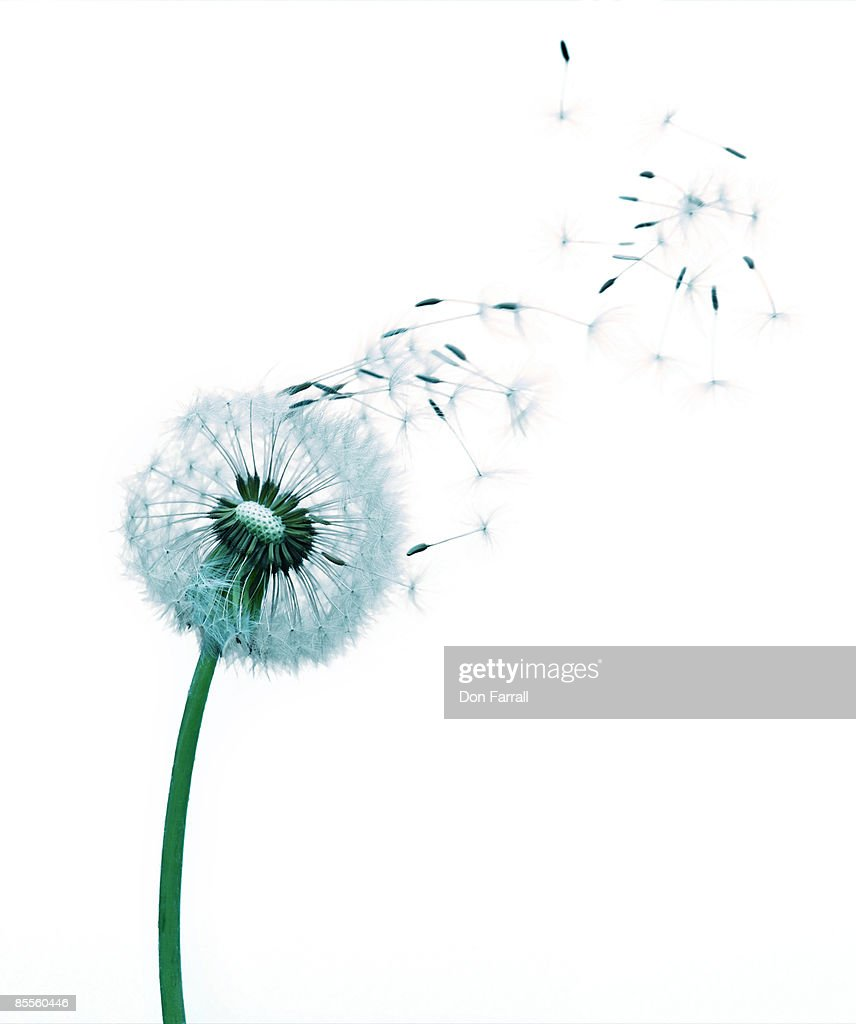 Dandelion Seeds Blowing White Background High-Res Stock