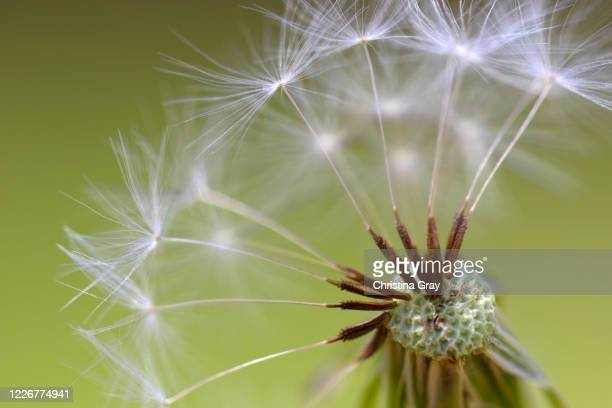 dandelion seeds - close-up - christina luft stock-fotos und bilder