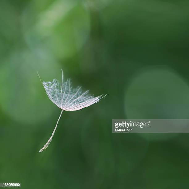 Dandelion seeds floating in air