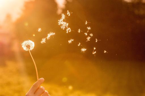 Dandelion seeds in the air, orange evening sun 1133764932