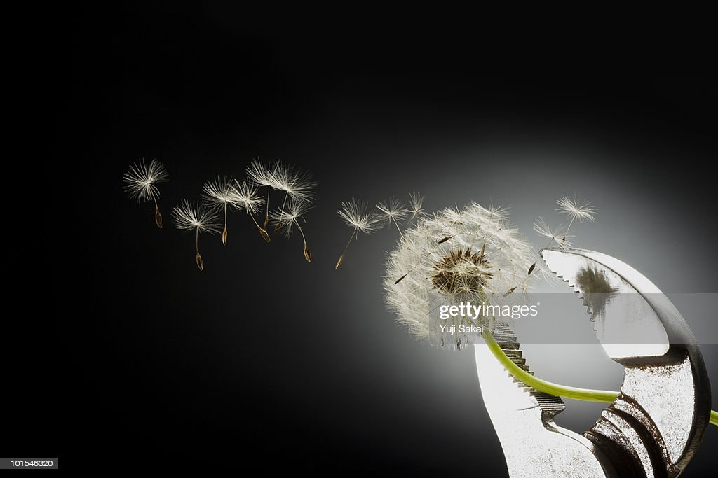 Dandelion seeds on pipe wrench  : Stockfoto
