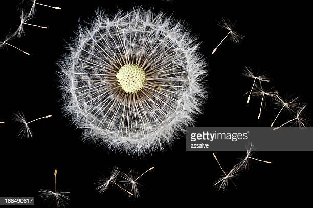 dandelion seeds - hairy balls stock photos and pictures
