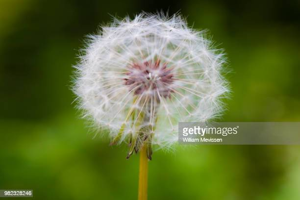 dandelion 'seethru' - william mevissen stock pictures, royalty-free photos & images