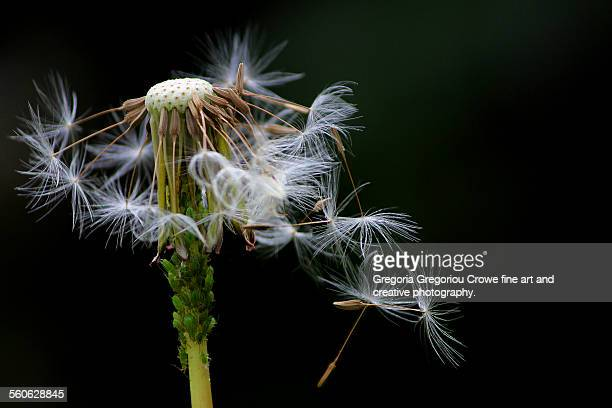 dandelion spore - gregoria gregoriou crowe fine art and creative photography stock-fotos und bilder