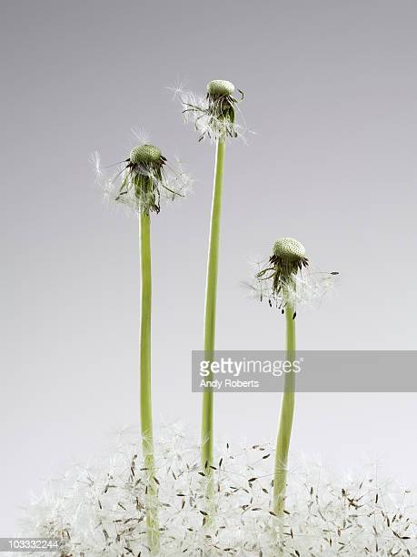 Dandelion stems with seeds below