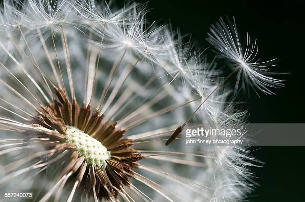 Dandelion super close up loosing seeds on the wind