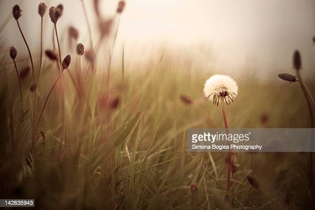 Dandelion surrounded by other plant