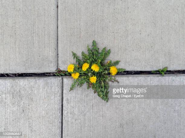 dandelion weed growing out of a crack in a sidewalk. - 自生 ストックフォトと画像