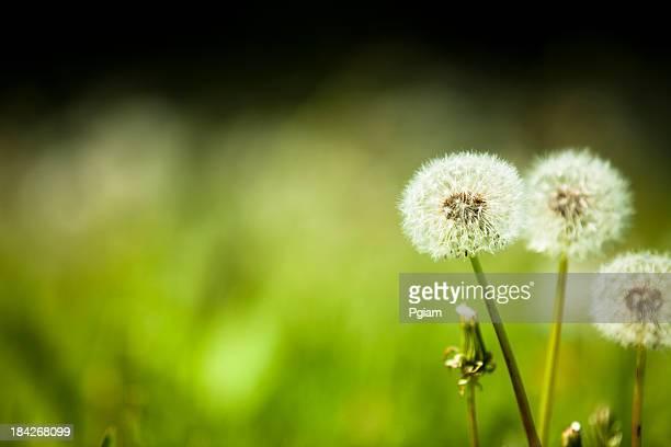 Dandelion weed in a backyard