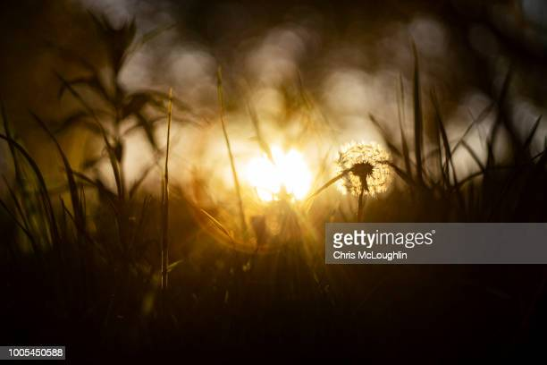 dandelion weeds in the evening sun at sutton bank on the north yorkshire moors - north yorkshire stock pictures, royalty-free photos & images
