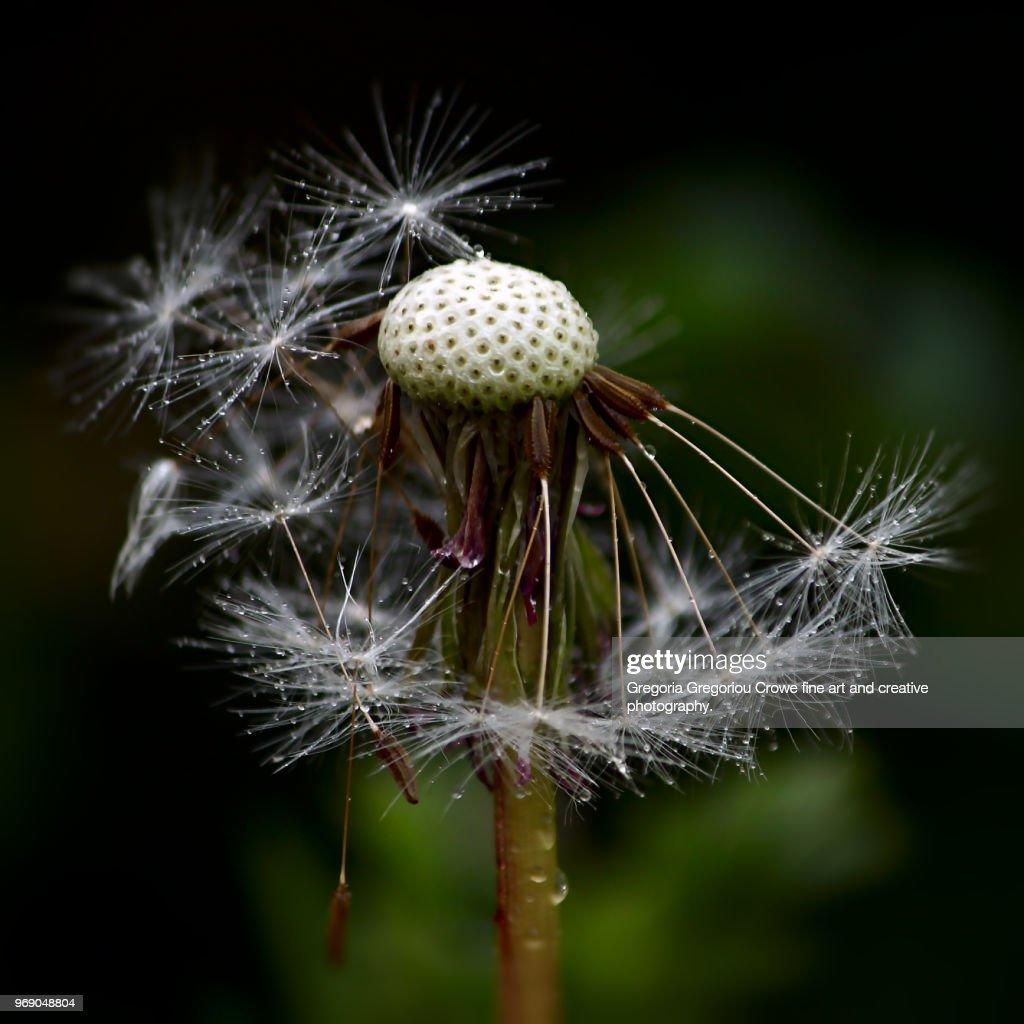 Dandelion With Dew : Stock Photo