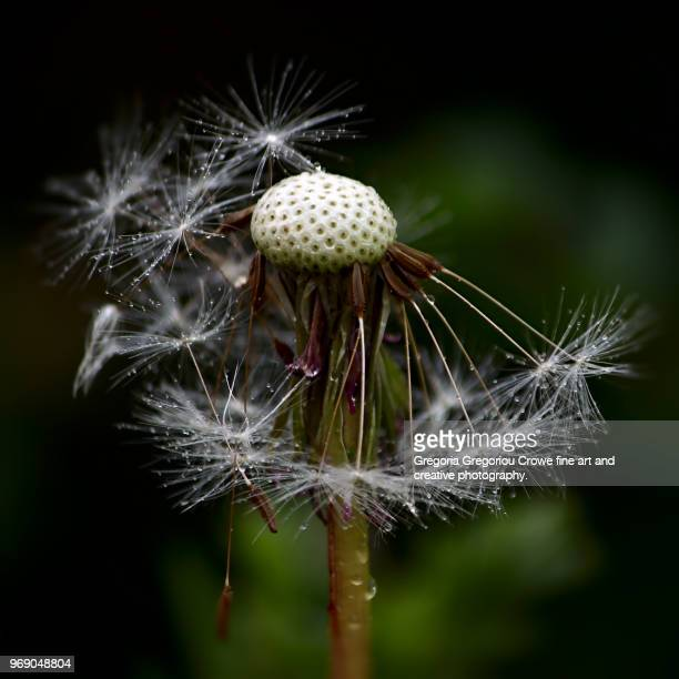 dandelion with dew - gregoria gregoriou crowe fine art and creative photography stock photos and pictures