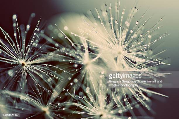 dandelion with droplets - gregoria gregoriou crowe fine art and creative photography stock-fotos und bilder