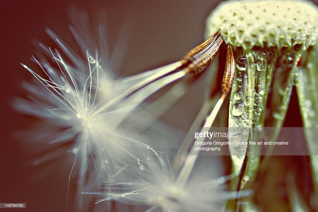 Dandelion with droplets : Stock Photo