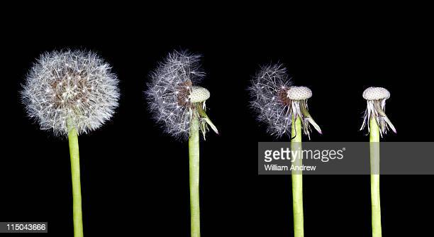Dandelion with progressively less seeds