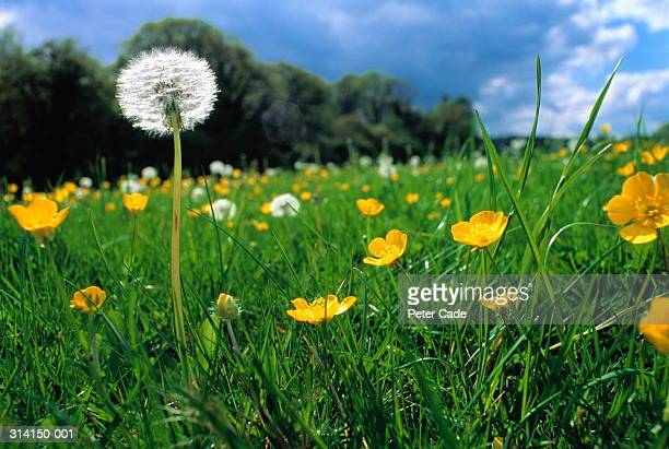 dandelions and buttercups in field, close-up - buttercup stock pictures, royalty-free photos & images
