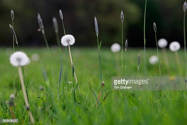 Dandelions and dandelion clocks, England.