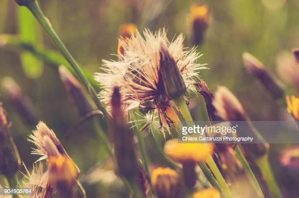 Dandelions and wild flora in a field