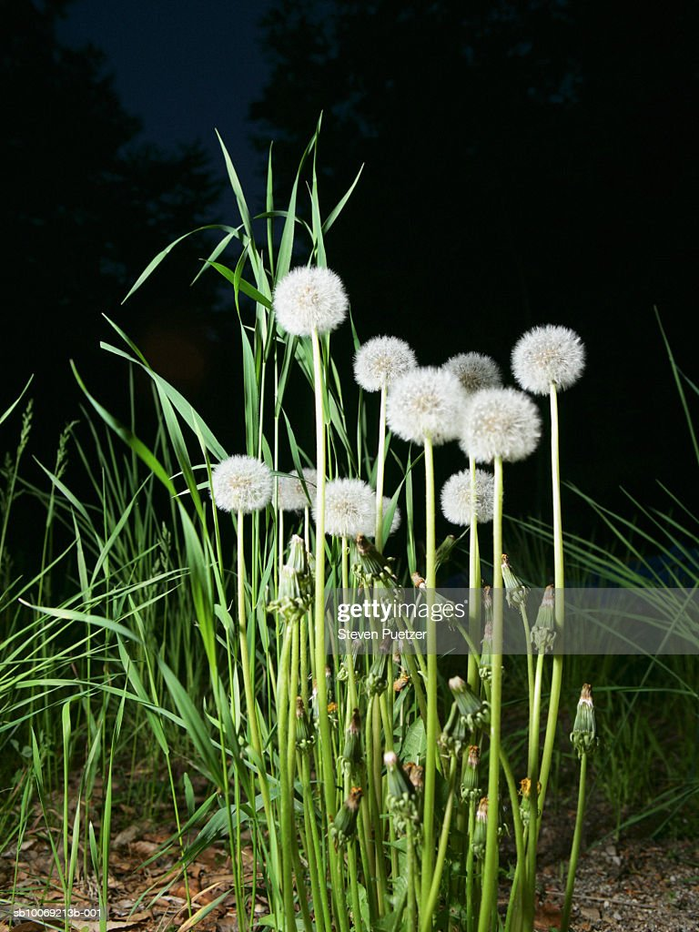 Dandelions flowers in grass, close-up : Stockfoto