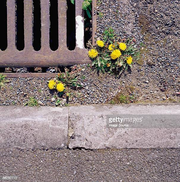 Dandelions growing in road