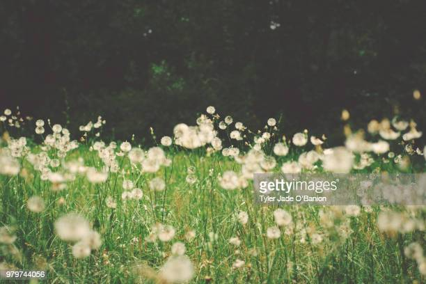 dandelions in backyard, tallahassee, florida, usa - tallahassee stock pictures, royalty-free photos & images