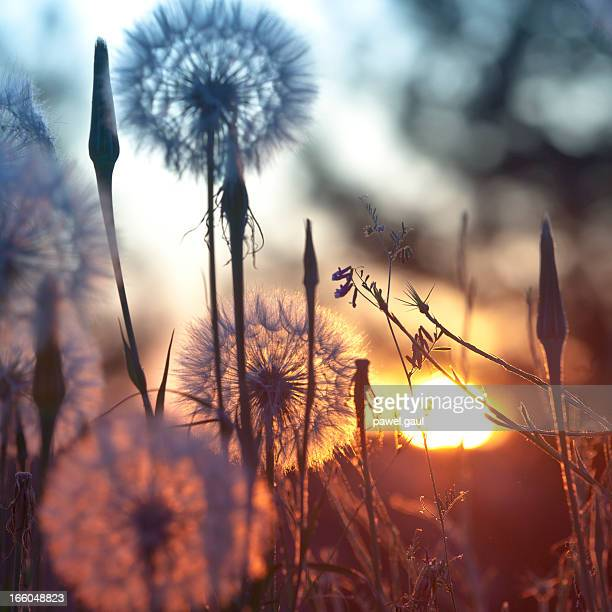 Dandelions in meadow at sunset