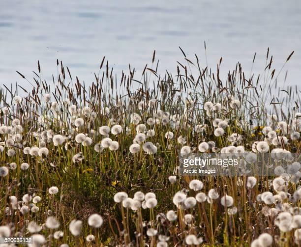 Dandelions in meadow in Iceland