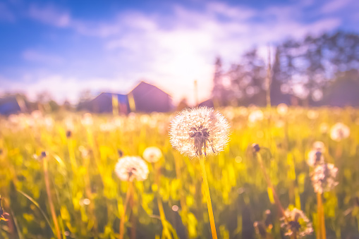 Dandelions in the field. Photo from Sotkamo, Finland. 974881846