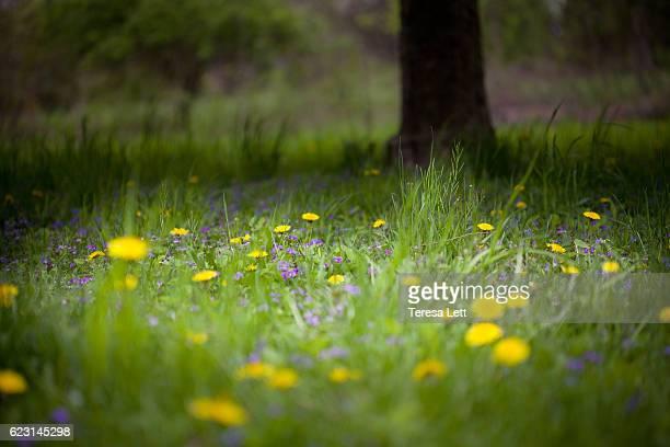 Dandelions on a lawn