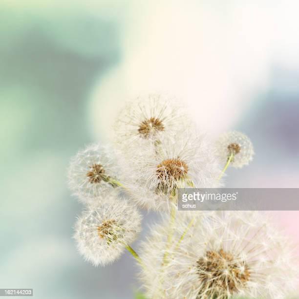 Dandelions on defocused background