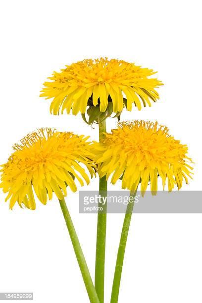 dandelions - flor silvestre fotografías e imágenes de stock