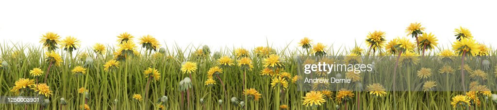 Dandelions viewed from the side, isolated on a white background 3D Render : Stock Photo