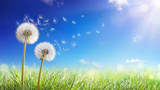 Dandelions With Wind In Field - Seeds Blowing Away Blue Sky 1138405619