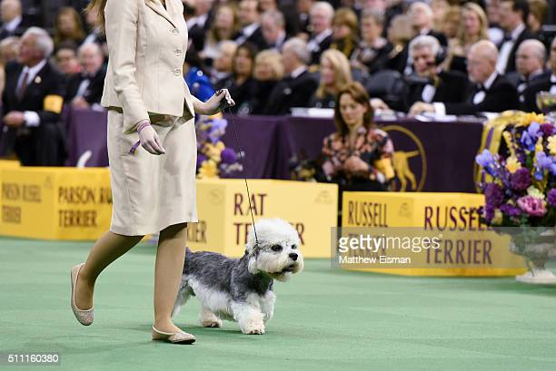 Dandie Dinmont Terrier competes in the Terrier Group during the second day of competition at the 140th Annual Westminster Kennel Club Dog Show at...