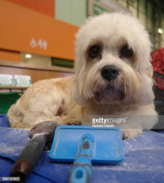 Dandie Dinmont Terrier is groomed at the Crufts dog show at the NEC Arena on March 8, 2018 in Birmingham, England. The annual four-day event sees...