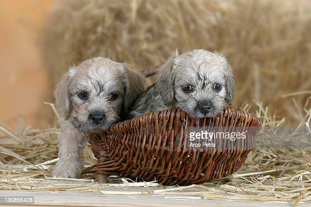 dandie dinmont terrier, puppies, 6 weeks, in basket - dandie dinmont terrier photos et images de collection