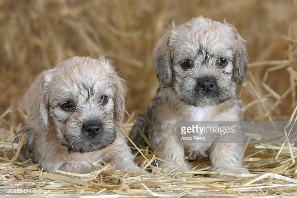 dandie dinmont terrier, puppies, 6 weeks - dandie dinmont terrier photos et images de collection