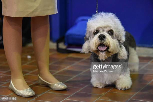 Dandie Dinmont Terrier waits in the grooming area during day two of competiton at the Westminster Kennel Club 140th Annual Dog Show at Pier 92/94 on...