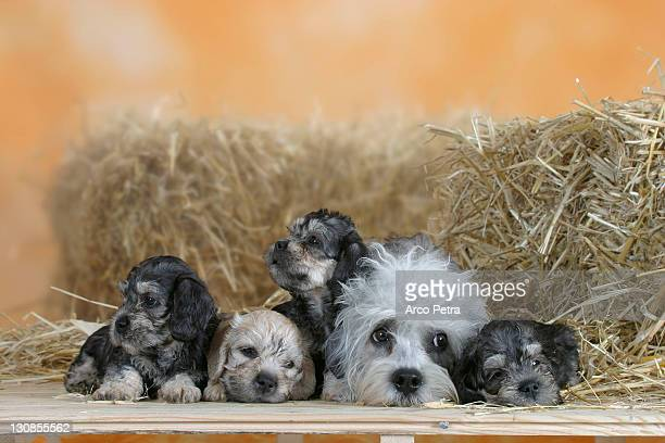 dandie dinmont terrier with puppies, 6 weeks - dandie dinmont terrier photos et images de collection