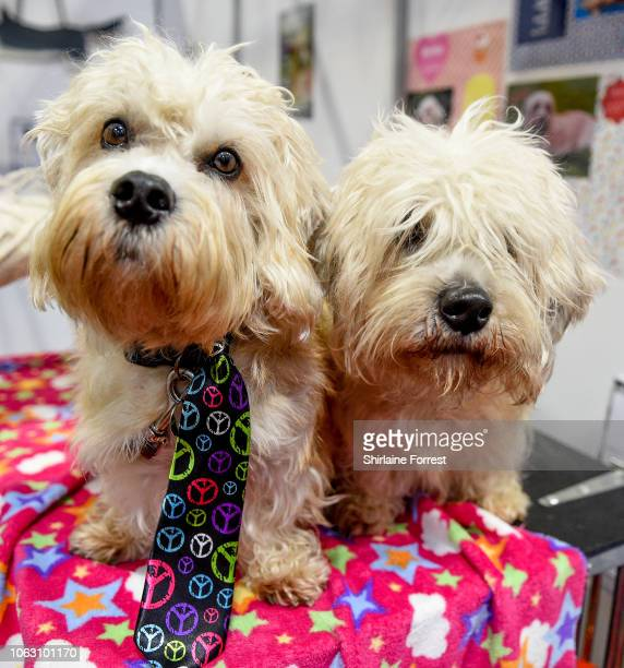 Dandie Dinmont Terriers Oliver and Hattie at The National Pet Show at NEC Arena on November 03 2018 in Birmingham England