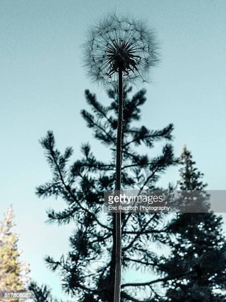 Dandilion ornamentally capping a pine tree